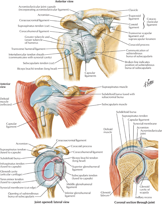 Ligaments of the Shoulder - Cardiovascular Causes of Shoulder Pain